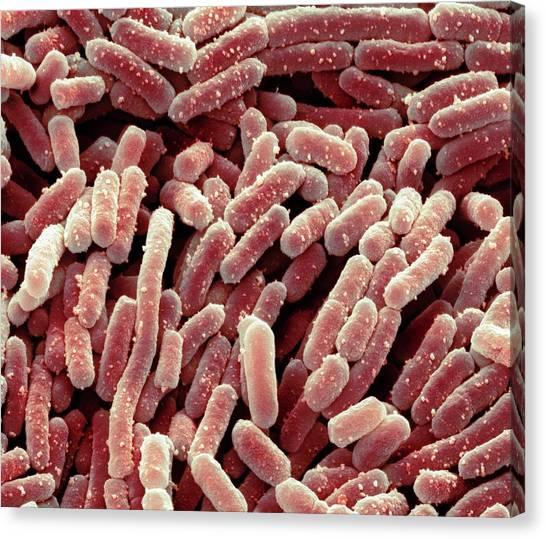 Lactobacillus Bacteria Canvas Print by Steve Gschmeissner
