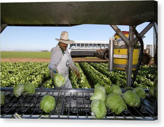 Lettuce Canvas Print - Lettuce Harvest by Jim West
