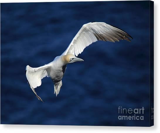 Northern Gannet In Flight Canvas Print by Maria Gaellman