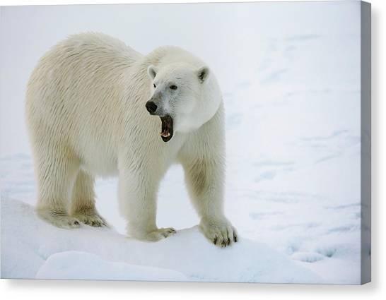Bear Claws Canvas Print - Polar Bear Standing On A Ice Floe by Peter J. Raymond
