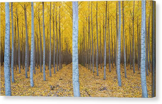 Fallen Leaf Canvas Print - Poplar Plantation In Autumn by Panoramic Images