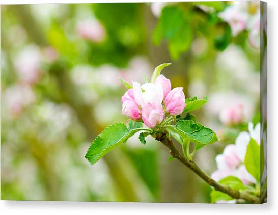 Canvas Print - Prunus Genus - Pink Cherry Blossom Flower On A Warm Spring Day by Fizzy Image