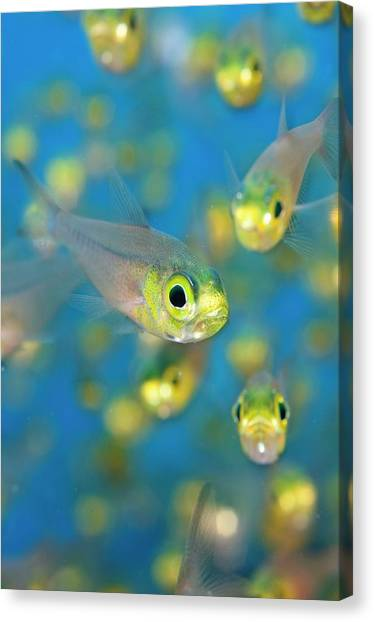 Pigmy Canvas Print - Pygmy Sweeper Fish by Scubazoo/science Photo Library