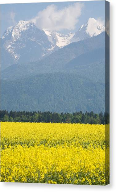 rapeseed field in Brnik with Kamnik Alps in the background Canvas Print