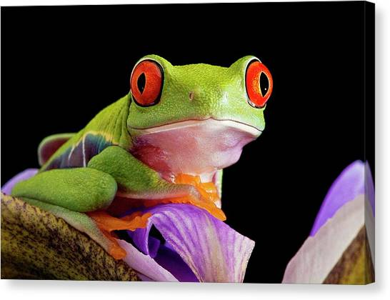Canvas Print - Red-eyed Tree Frog by Linda Wright