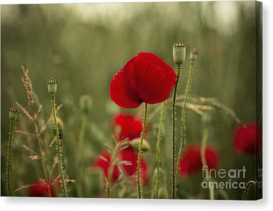Petals Canvas Print - Red Poppy Flowers by Nailia Schwarz