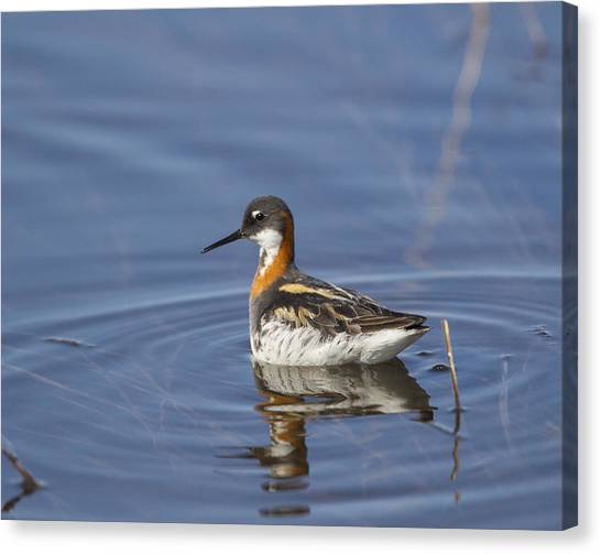 Rednecked Phalarope Canvas Print