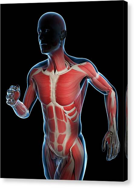 Runner Muscles Canvas Print by Sciepro/science Photo Library