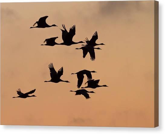 Sandhill Crane Canvas Print - Sandhill Cranes (grus Canadensis by William Sutton