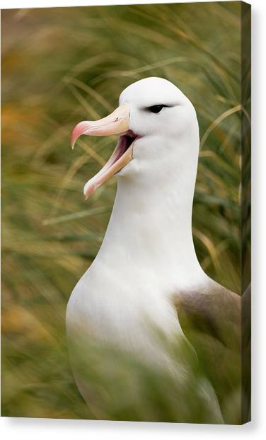 Albatrosses Canvas Print - South Atlantic, Falkland Islands, New by Jaynes Gallery
