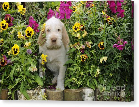 Spinone Canvas Print - Spinone Puppy Dog by John Daniels