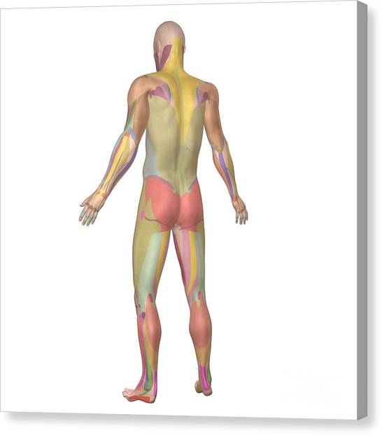 Surface Anatomy Photograph by Medical Images, Universal Images Group