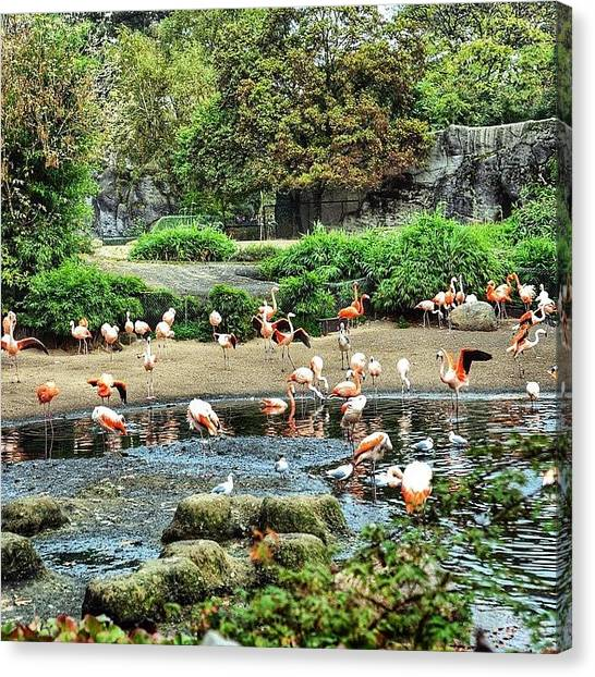 Flamenco Canvas Print - Tierpark Hagenbeck