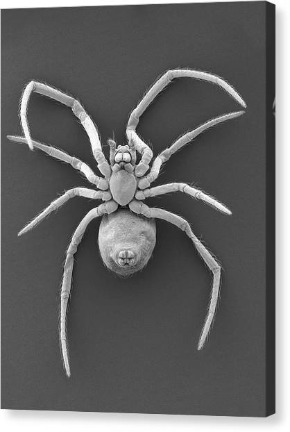 Western Black Widow Spiderling Canvas Print by Dennis Kunkel Microscopy/science Photo Library