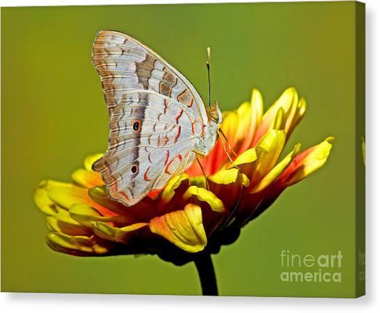 Anartia Jatrophae Canvas Print - White Peacock Butterfly by Millard H. Sharp