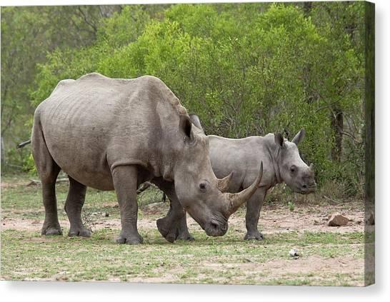 One Horned Rhino Canvas Print - White Rhino And Calf by Bob Gibbons