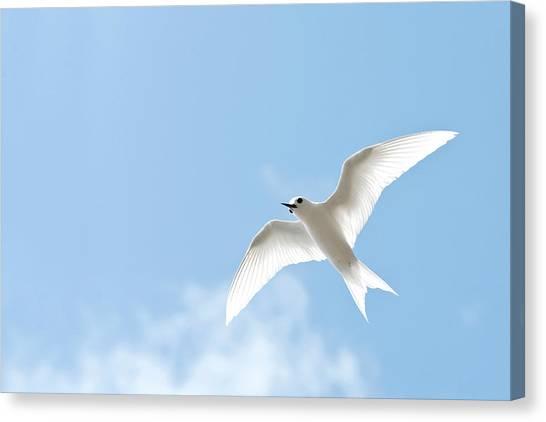White Tern (gygis Alba Rothschildi Canvas Print by Daisy Gilardini