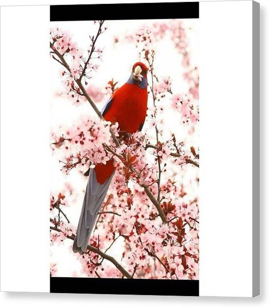 Parrots Canvas Print - Instagram Photo by Amirah Farhah Zakaria