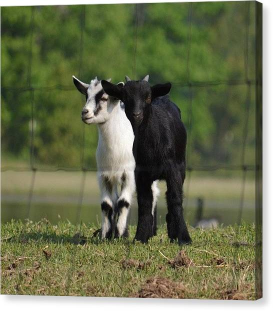 Goats Canvas Print - Cute Baby Goats by Jessica Thomas