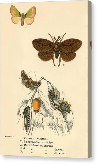 Lepidoptera Canvas Print - Butterflies by English School