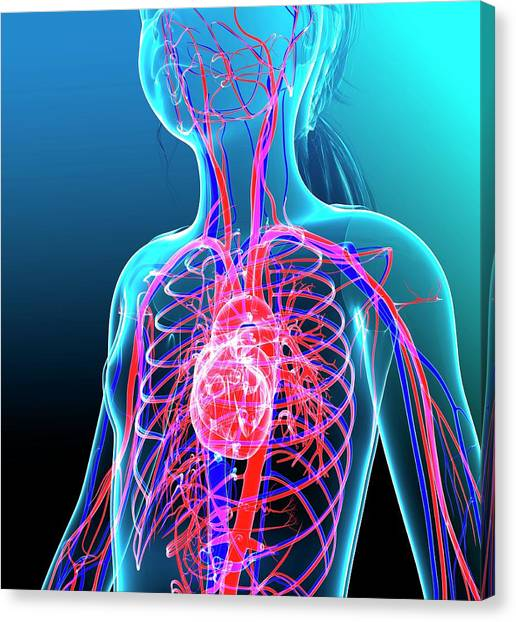 Human Cardiovascular System Canvas Print by Pixologicstudio/science Photo Library