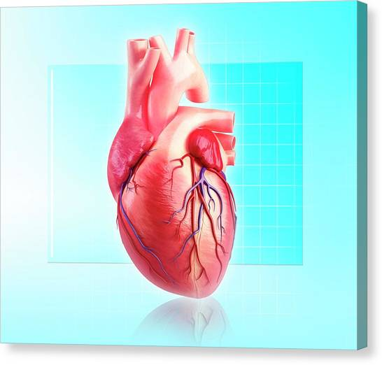 Human Heart Canvas Print by Pixologicstudio/science Photo Library