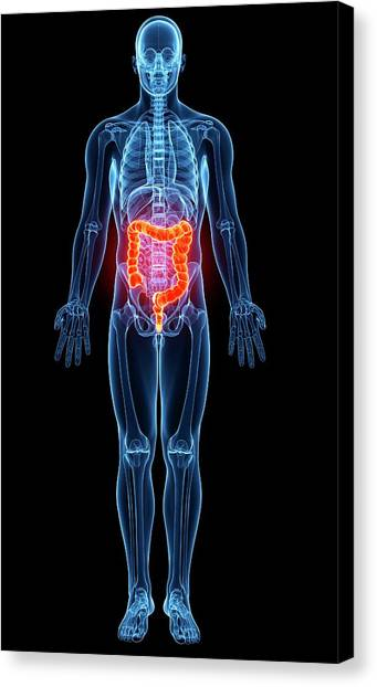 Male Anatomy Canvas Print by Pixologicstudio/science Photo Library