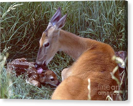 White-tailed Deer Canvas Print