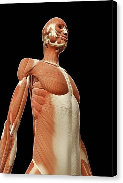 Human Muscular System Canvas Print by Sebastian Kaulitzki