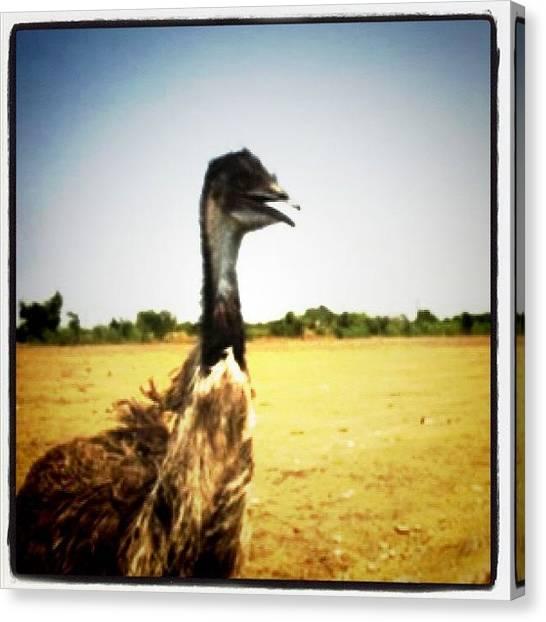 Ostriches Canvas Print - Instagram Photo by Cassie Delgado