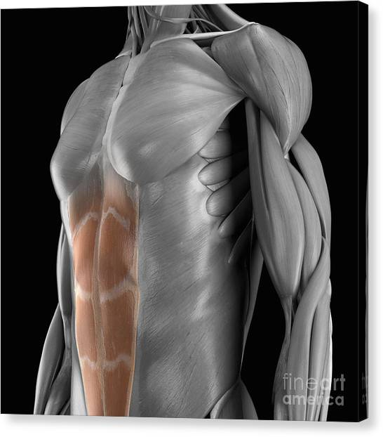 Rectus Abdominis Muscle Canvas Prints Page 3 Of 6 Fine Art America