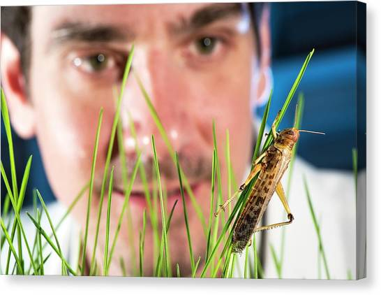 Grasshopper Canvas Print - Breeding Insects For Human Consumption by Philippe Psaila