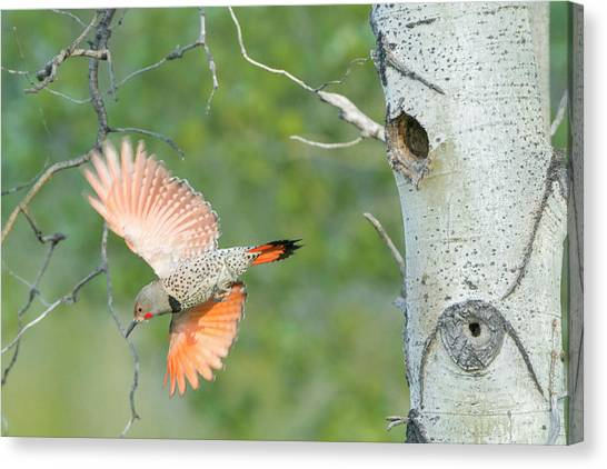 Northern Flicker Canvas Print - Canada, British Columbia by Gary Luhm