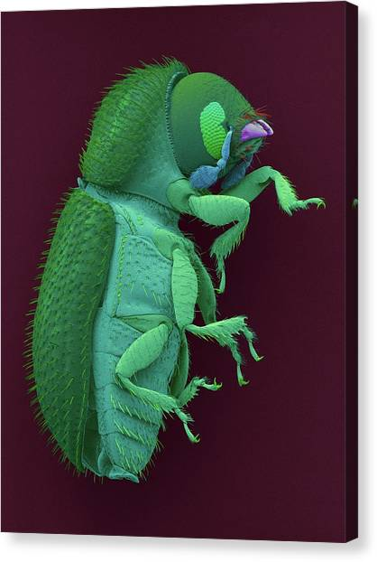 Coffee Berry Borer Canvas Print by Dennis Kunkel Microscopy/science Photo Library