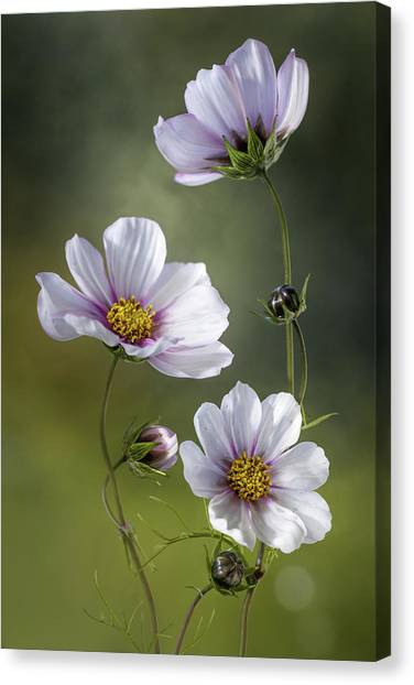 Cosmos Flower Canvas Print - *cosmos by Mandy Disher