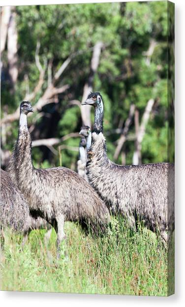 Emu Canvas Print - Emu (dromaius Novaehollandiae by Martin Zwick