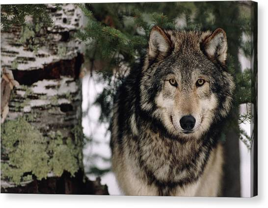 Grey Wolf Canvas Print by William Ervin/science Photo Library