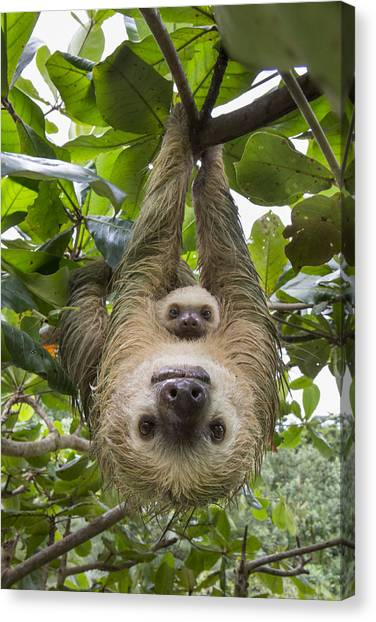 Canvas Print featuring the photograph Hoffmanns Two-toed Sloth And Old Baby by Suzi Eszterhas