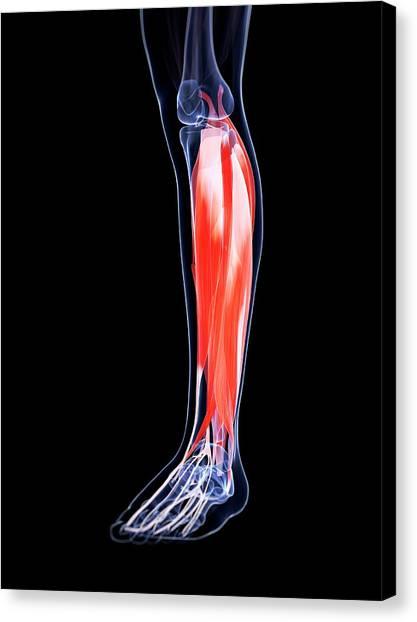 Human Calf Muscles Canvas Print by Sebastian Kaulitzki