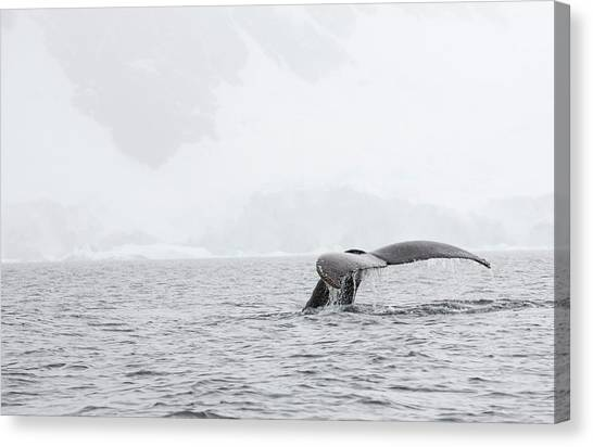 Climate Change Canvas Print - Humpback Whales Feeding On Krill by Ashley Cooper
