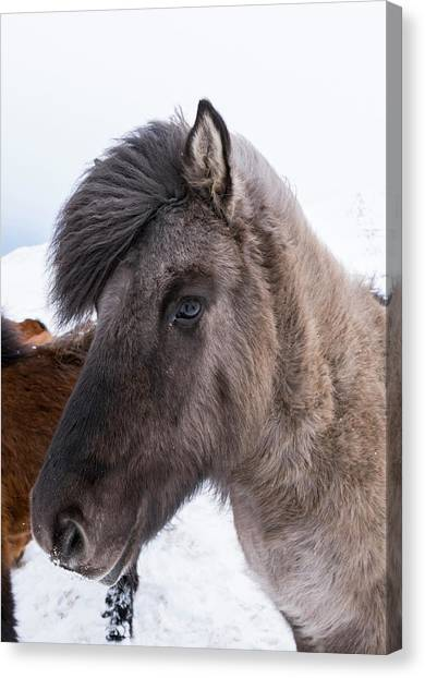 Dun Horse Canvas Print - Icelandic Horse With Typical Winter Coat by Martin Zwick