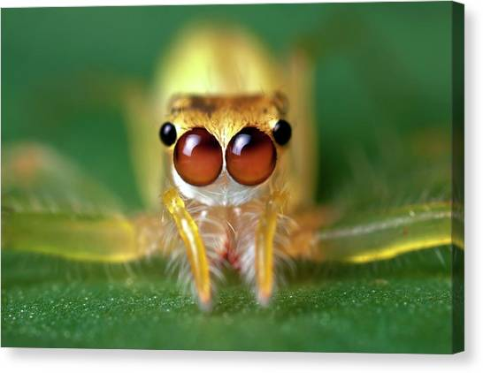 Tropical Rainforests Canvas Print - Jumping Spider by Alex Hyde