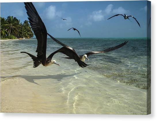Belize Canvas Print - Magnificent Frigatebird (fregata by Pete Oxford