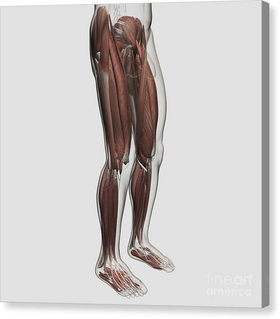 Gracilis Muscle Canvas Prints Fine Art America