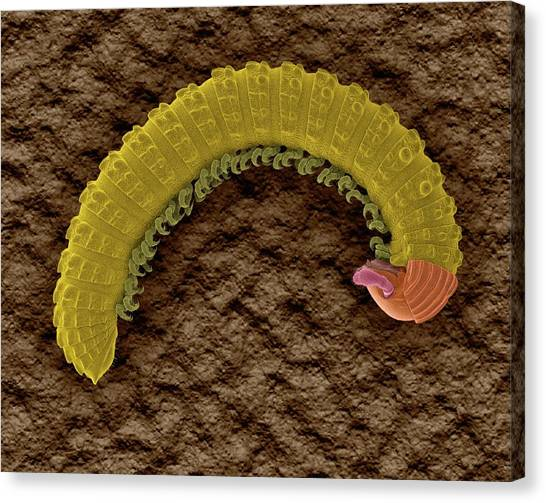 Millipedes Canvas Print - Millipede (class Diplopoda) by Dennis Kunkel Microscopy/science Photo Library