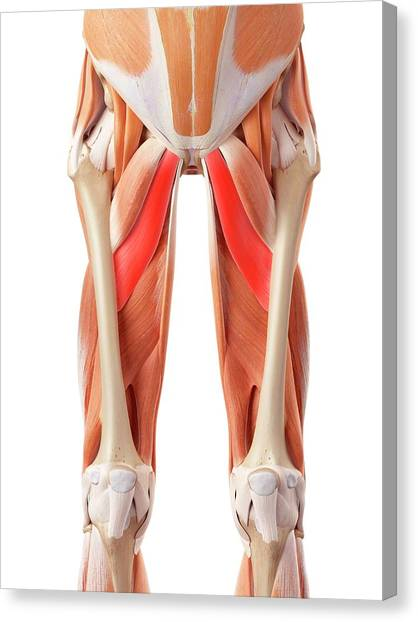 Muscular System Of Legs Canvas Print by Sebastian Kaulitzki/science Photo Library