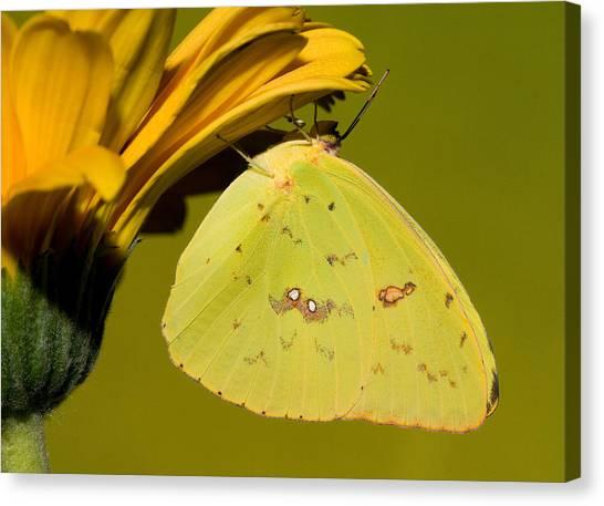Sulfur Butterfly Canvas Print - Orange Barred Sulfur Butterfly by Millard H. Sharp