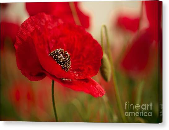 Crowd Canvas Print - Poppy Dream by Nailia Schwarz