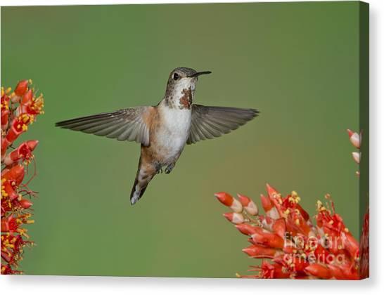 Selasphorus Canvas Print - Rufous Hummingbird by Anthony Mercieca