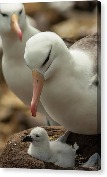 Albatrosses Canvas Print - South America, Falkland Islands by Jaynes Gallery